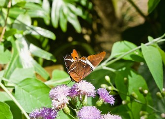 Siproeta epaphus Butterfly on a Purple Flower
