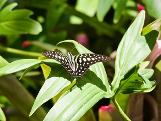 Tailed Jay Green Butterfly on a Leaf