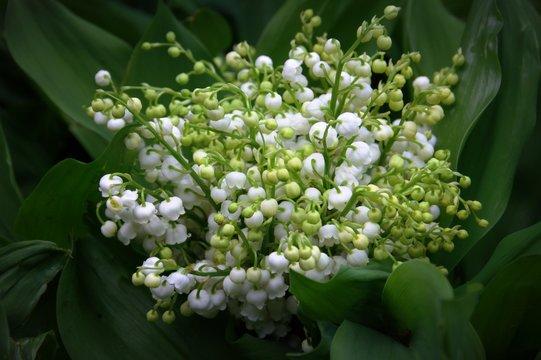 muguet en fleurs ,plante au jardin avec son feuillage