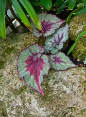Green and Purple Angel Wing Begonia Leaves on a rock