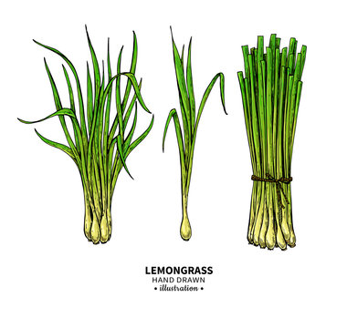 Lemongrass vector drawing set. Isolated illustration of leaves. Organic essential oil sketch.