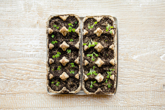 Small plats growing in carton chicken egg box in black soil. Break off the biodegradable paper cup and plant in soil outdoors. Reuse concept.