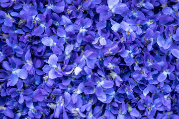 Flower Background - macro image of spring violet flowers
