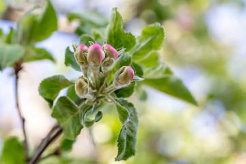 Fototapeta Apple tree bud close up, macro photo