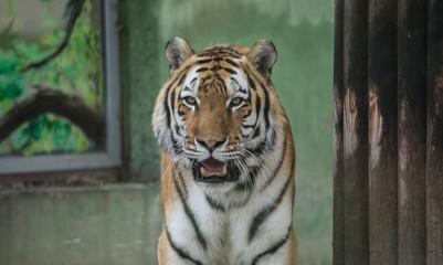 Foto auf Leinwand Tiger white bengal tiger
