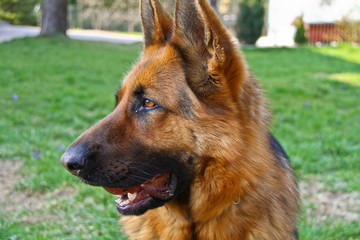 This is a view of bitch of german shepherd.