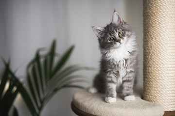 Spoed Fotobehang Kat blue tabby maine coon kitten standing on cat furniture tilting head beside a houseplant in front of white curtains