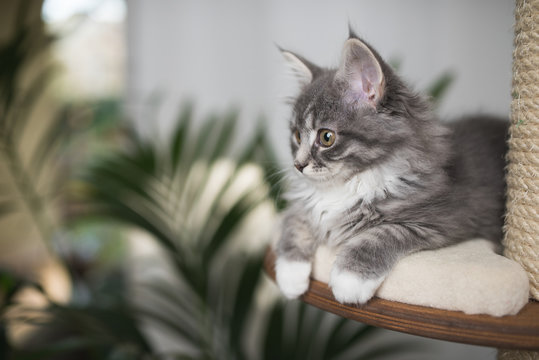 blue tabby maine coon kitten relaxing on a scratching post next to a houseplant in front of white curtain looking to the side