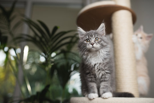 two maine coon kittens playing on a scratching post. one cat is looking directly at the camera