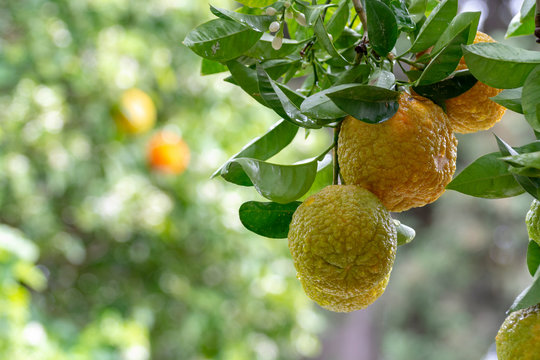 Citrus fruits of sour orange bergamot riping on  thee