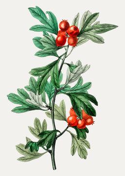 Morrocco hawthorn