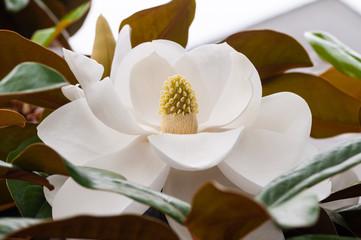 Close Up Photo of a Magnolia Flower