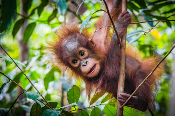 Foto op Aluminium Aap World's cutest baby orangutan hangs in a tree in Borneo