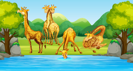 Group of giraffe in nature