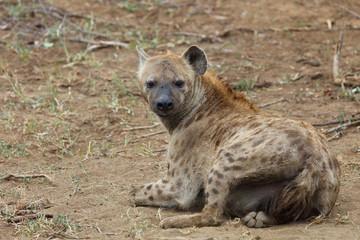 Photo sur Plexiglas Hyène Tüpfelhyäne / Spotted hyaena / Crocuta crocuta