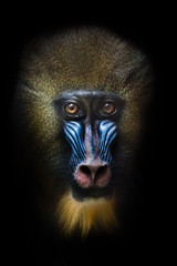 Awareness of the meaninglessness of being in the eyes. The pensive face of a madril monkey Rafiki Isolated black background