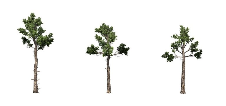 Set of Loblolly Pine trees - isolated on a white background