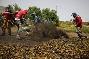 Palestinian workers rake burnt wheat spikes in the process of making freekeh, a Middle Eastern cereal dish, in Jenin in the Israeli-occupied West Bank