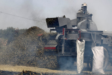 Palestinian workers use a machine to refine burnt wheat spikes in the process of making freekeh, a Middle Eastern cereal dish, in Jenin in the Israeli-occupied West Bank