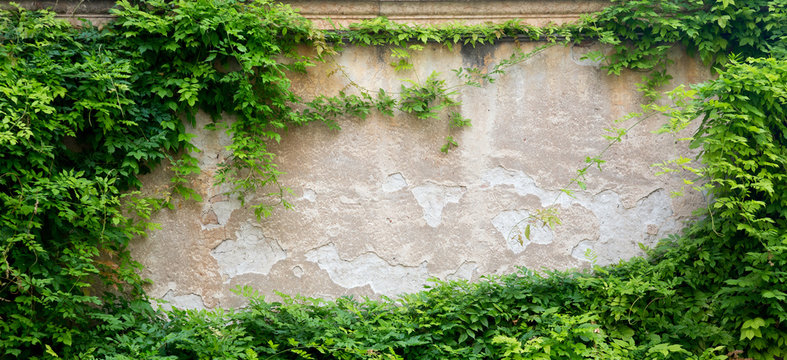 Green leaves on a wall for background with free space. Architecture design mockup