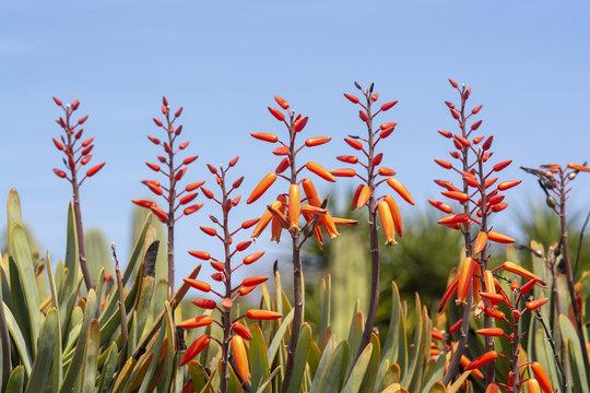 Orange color agave flowers