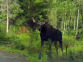 Elch an einer Straße in Schweden.