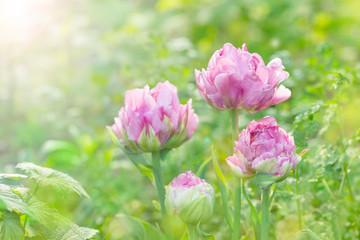 チューリップ 八重咲き