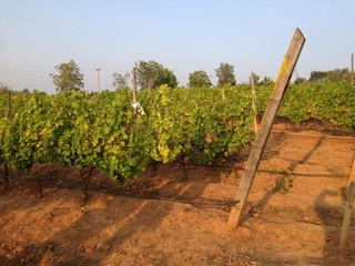 red wine grapes in the vineyard
