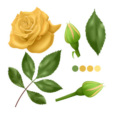 Realistic Yellow rose on white background, leaves, bud and an open flower, elements for your design, Vector EPS 10 illustration