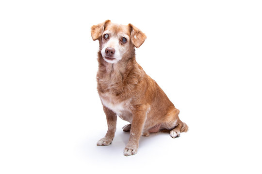 Senior dog with cataract in his eyes isolated on a white background.