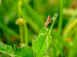 Macro photography of a little brown grasshopper resting on a half eaten clover leaf. Captured at the Andean mountains of central Colombia.