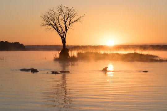 hippos at sunrise