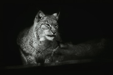 Wall Murals Lynx Portrait of a sitting lynx close-up on an isolated black background