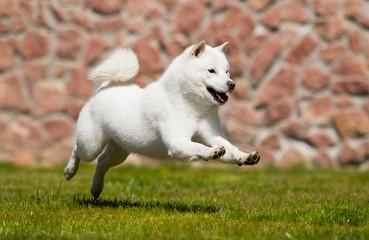 Wall Mural - hokkaido dog runs