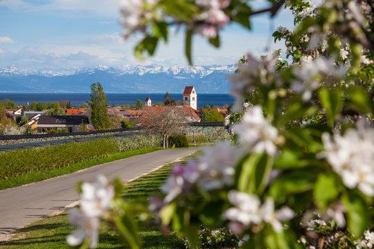 Apfelblüte am Bodensee