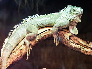 Türaufkleber Chamaleon Iguana