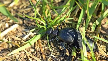 schwarzblauer ölkäfer larve