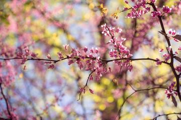 Pink flowering redbud tree in the spring