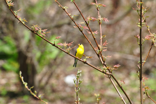 Bright Yellow American Gold Finch Sitting on a Spring Maple Tree Branch