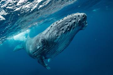 クジラ whale TONGA Wall mural
