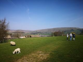 Sheep, Yorkshire Dales, England, UK