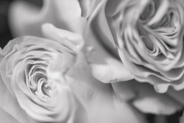 Blurred abstract floral background whis Beautiful delicate roses flowers close up picture. Macro shot, defocused photo. Black an white photo.