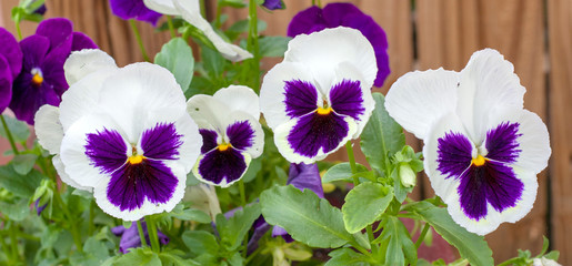 Poster Pansies Close-up of four white and violet pansies in a row.