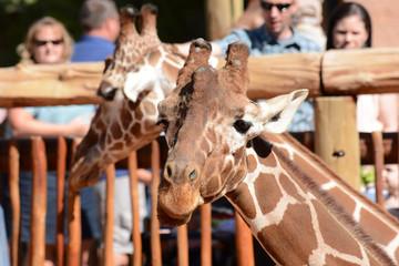 Giraffes at Cheyenne Mountain Zoo Colorado Springs