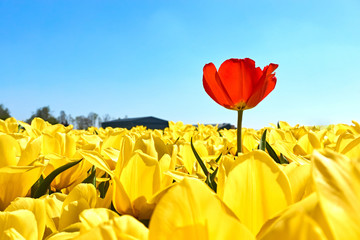 Photo sur Plexiglas Tulip Individuality, difference and leadership concept. Stand out from the crowd. A single red tulip in a field with many yellow tulips against a blue sky in springtime in the Netherlands