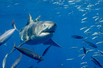 Cage Diving with Great White Shark in Isla Guadalupe, Mexico
