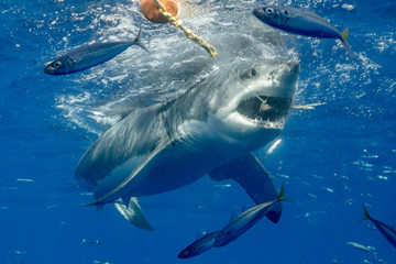 Fototapete - Cage Diving with Great White Shark in Isla Guadalupe, Mexico