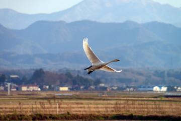 越冬するコハクチョウ 石川県加賀地方