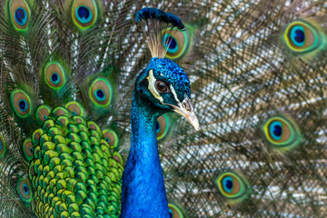 Peacock male, Phasianidae, displaying brillant plumage in blue and green hues
