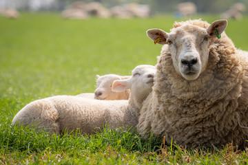 lambs in meadow